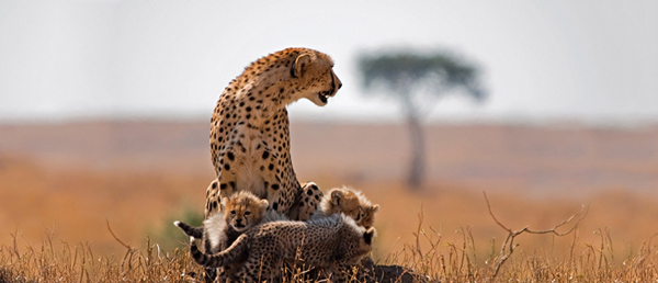 1394100459_south-africa-cheetahcubs.jpg