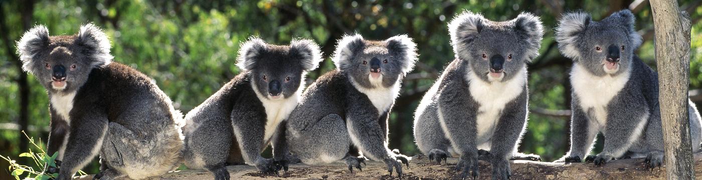 v-gosti-k-kivi-i-koalam