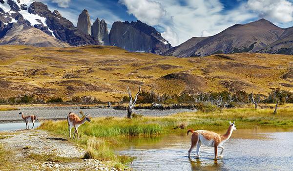 Guanacos_Torres_del_Paines_National_Park_Chile_1425